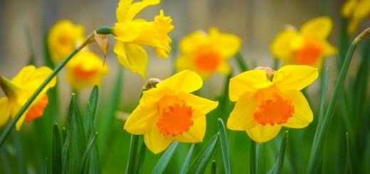 Daffodils:The Symbol of Friendship!