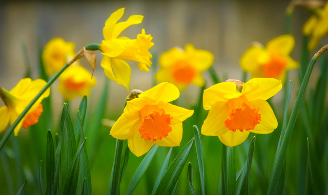 Daffodils:The Symbol of Friendship!