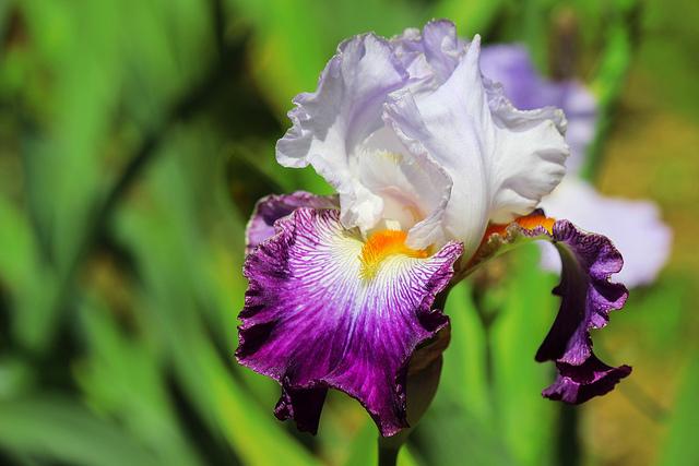 Spring Flowers Iris